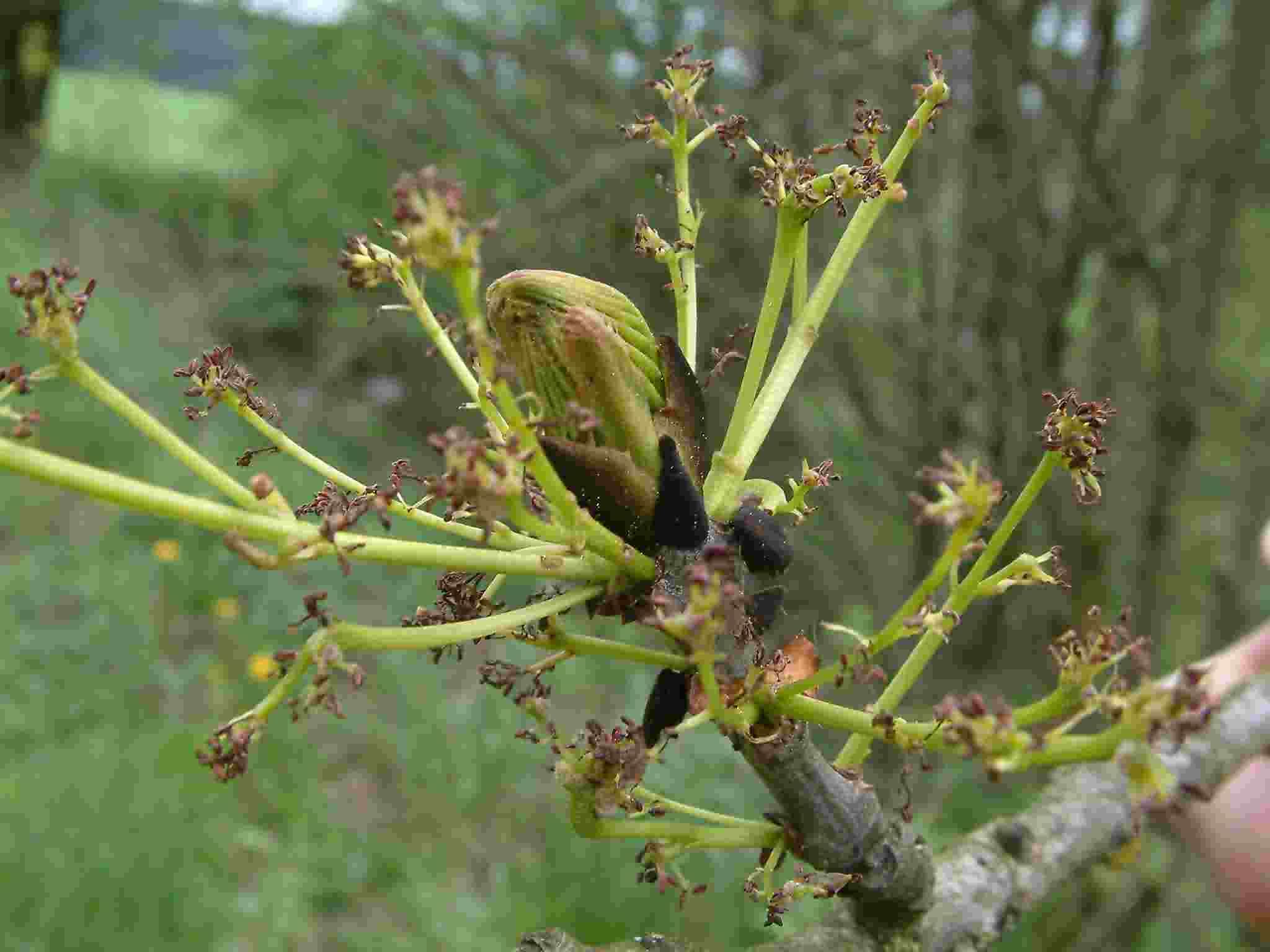 Fraxinus excelsior 3