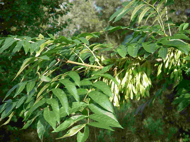Fraxinus excelsior 4