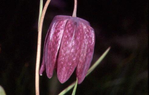 Fritillaria meleagris 2