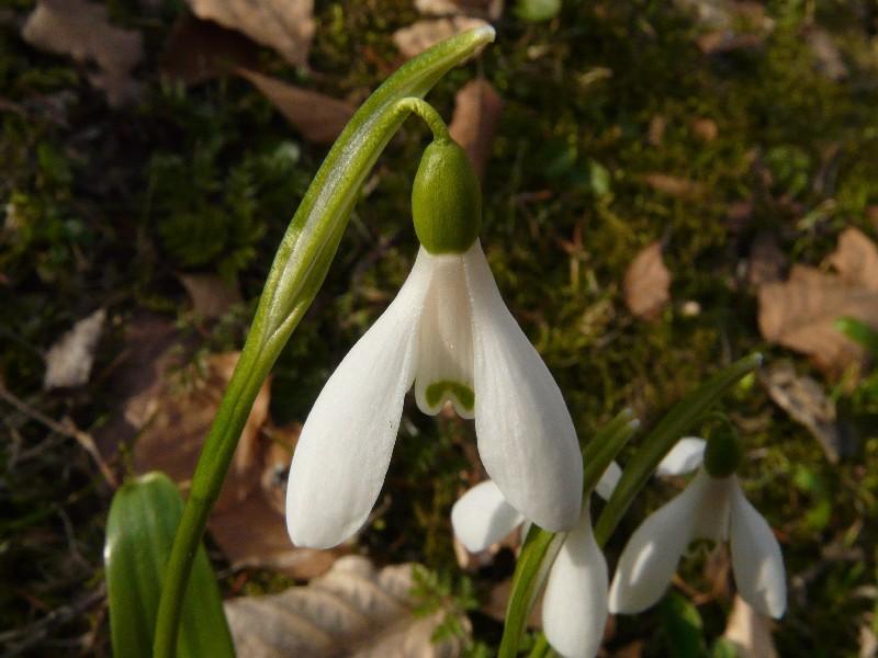 Galanthus woronowii 2