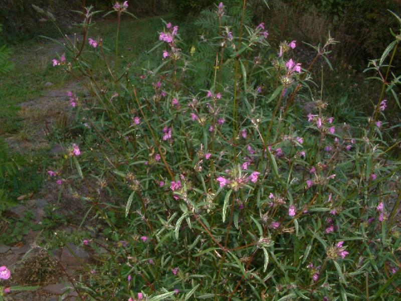 Galeopsis angustifolia 1
