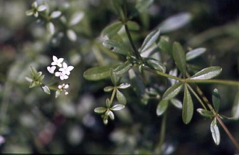 Galium palustre 1