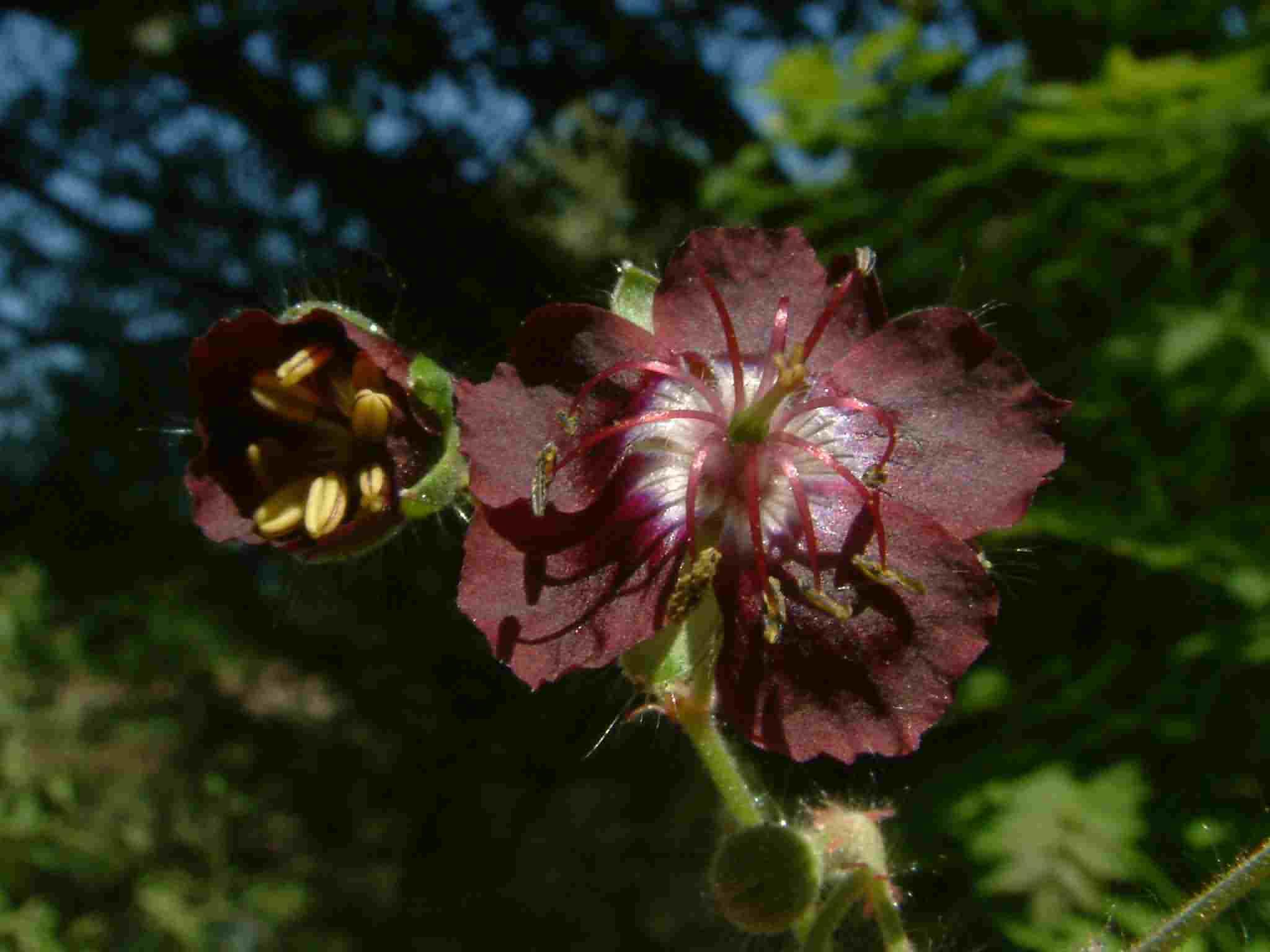 Geranium phaeum 3