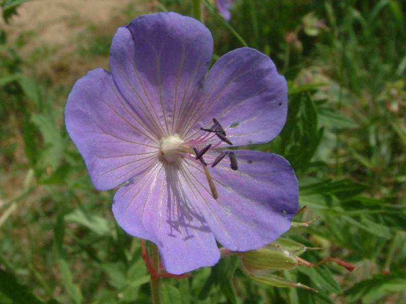 Geranium pratense 2