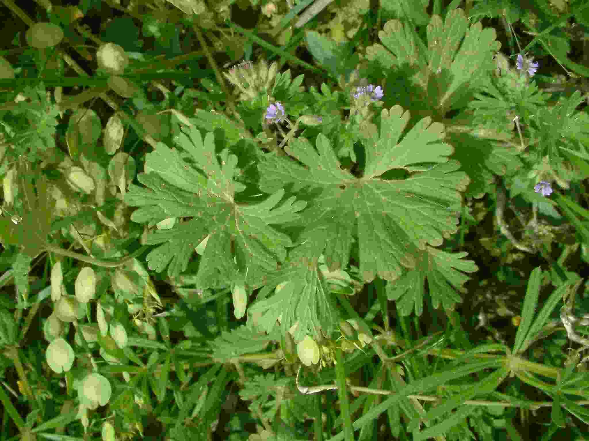 Geranium pusillum 1