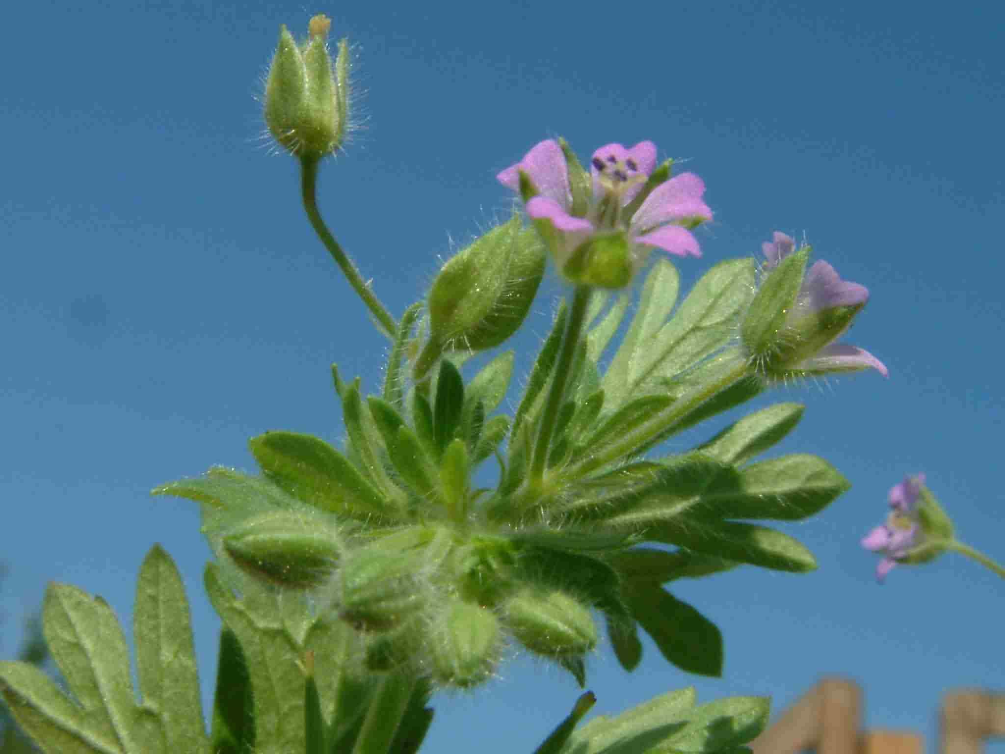 Geranium pusillum 3