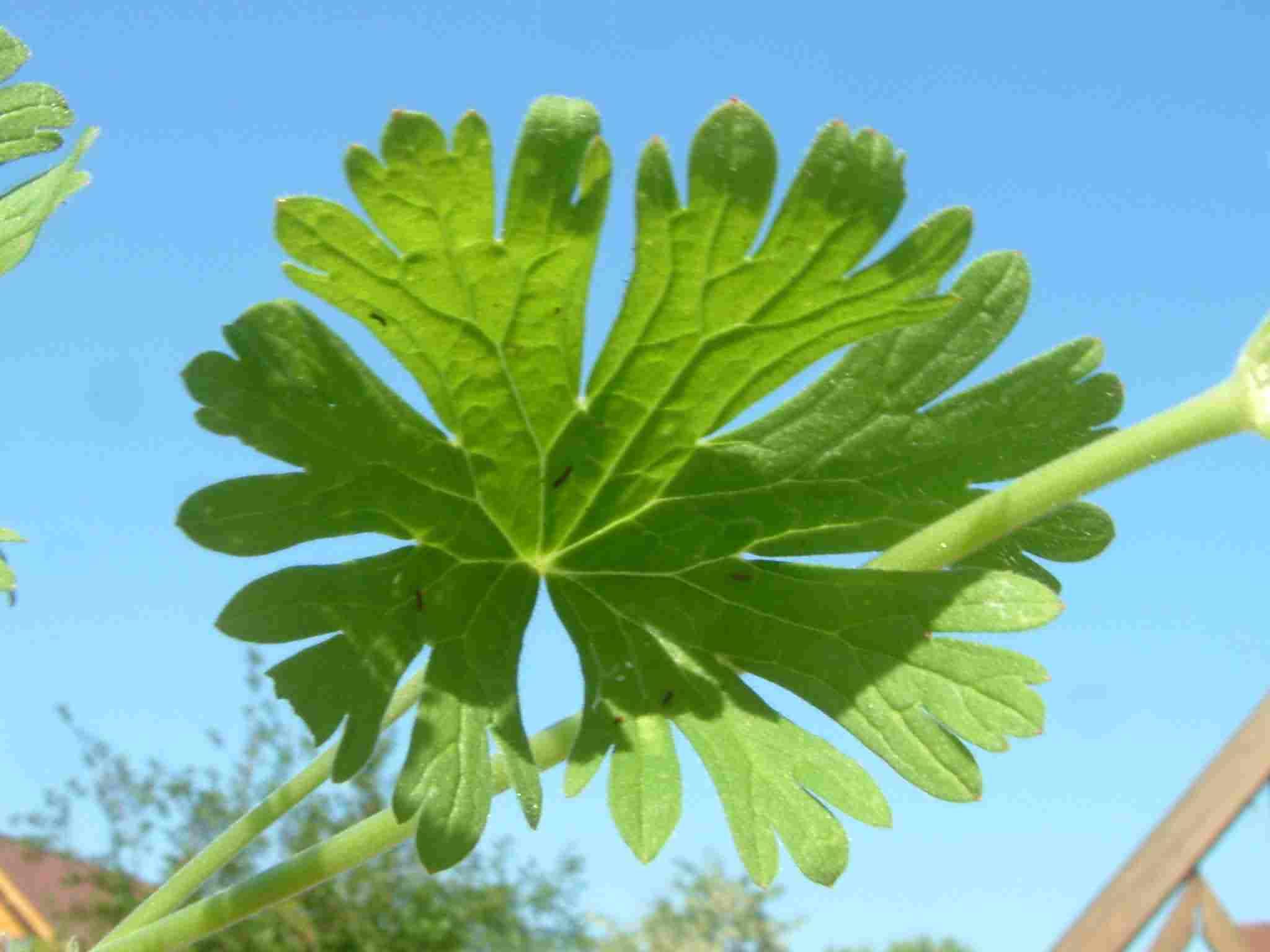 Geranium pusillum 4