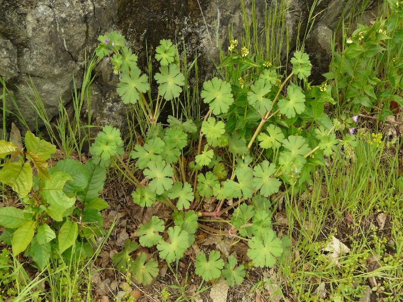 Geranium pyrenaicum 1