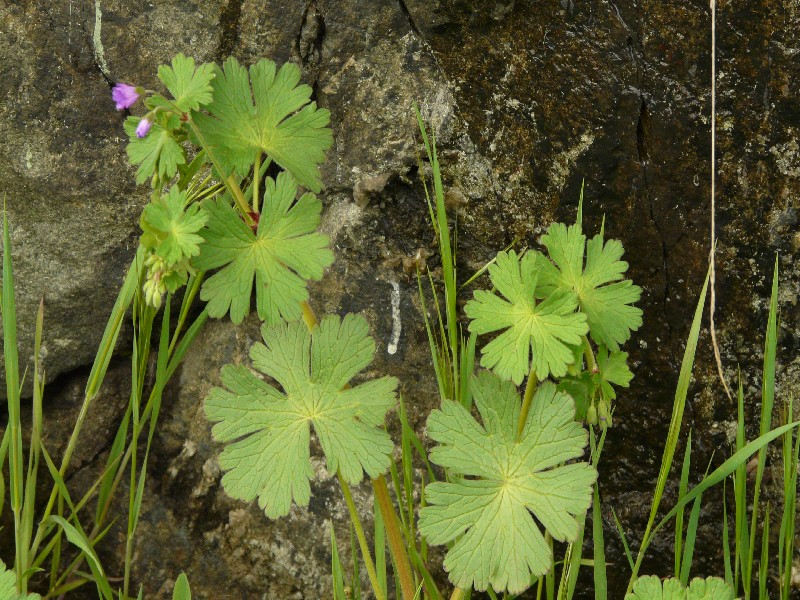 Geranium pyrenaicum 2