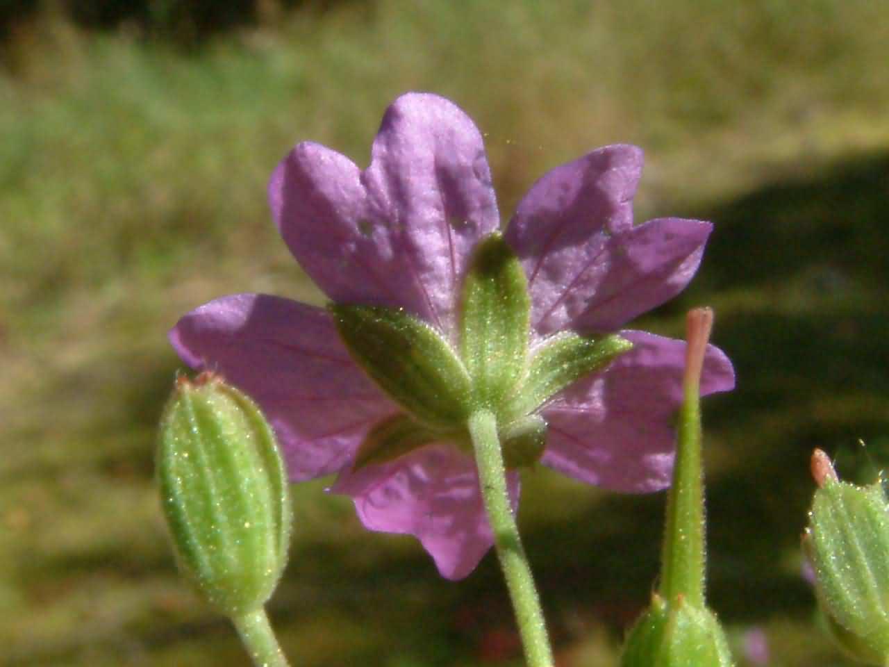 Geranium pyrenaicum 4