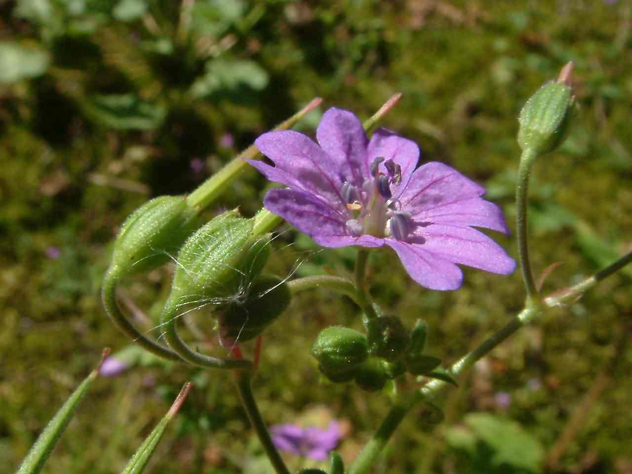 Geranium pyrenaicum 3