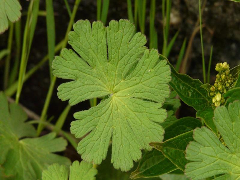 Geranium pyrenaicum 7