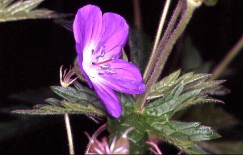 Geranium sylvaticum 2