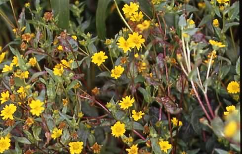 Guizotia abyssinica 1