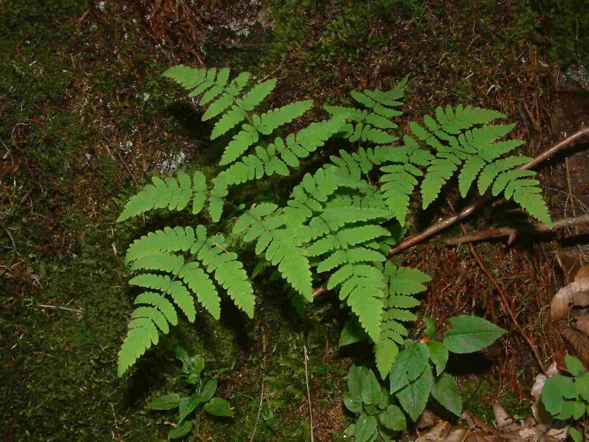 Gymnocarpium dryopteris 1