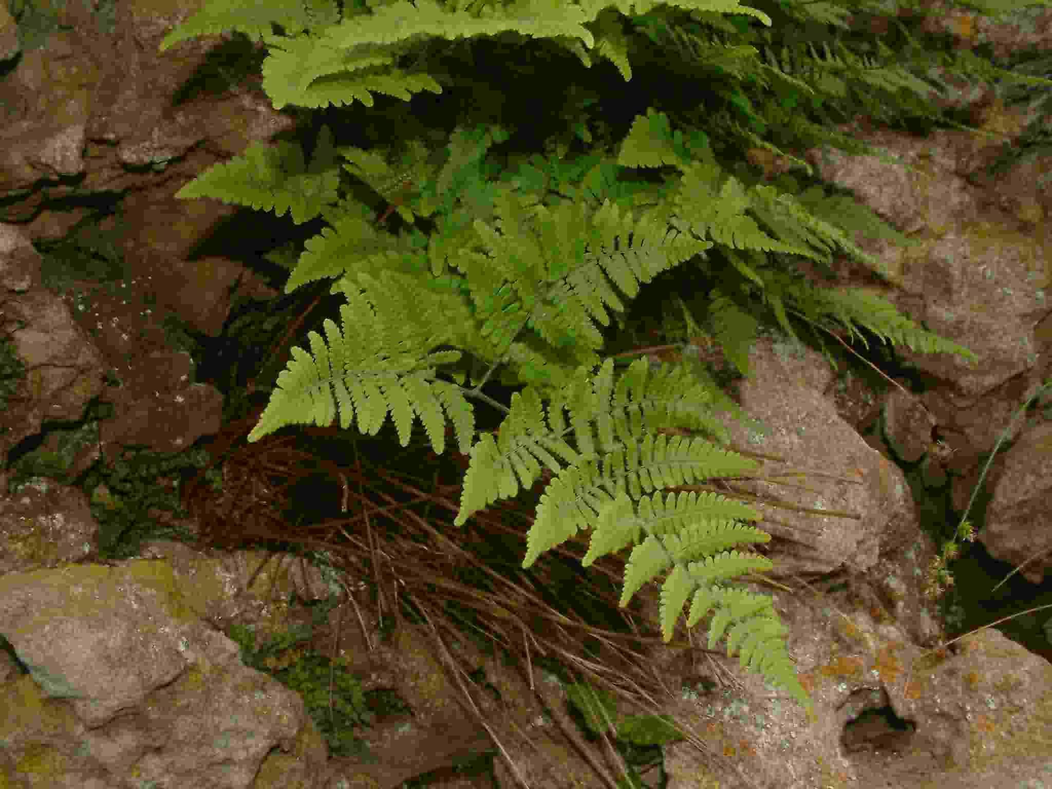 Gymnocarpium robertianum 1