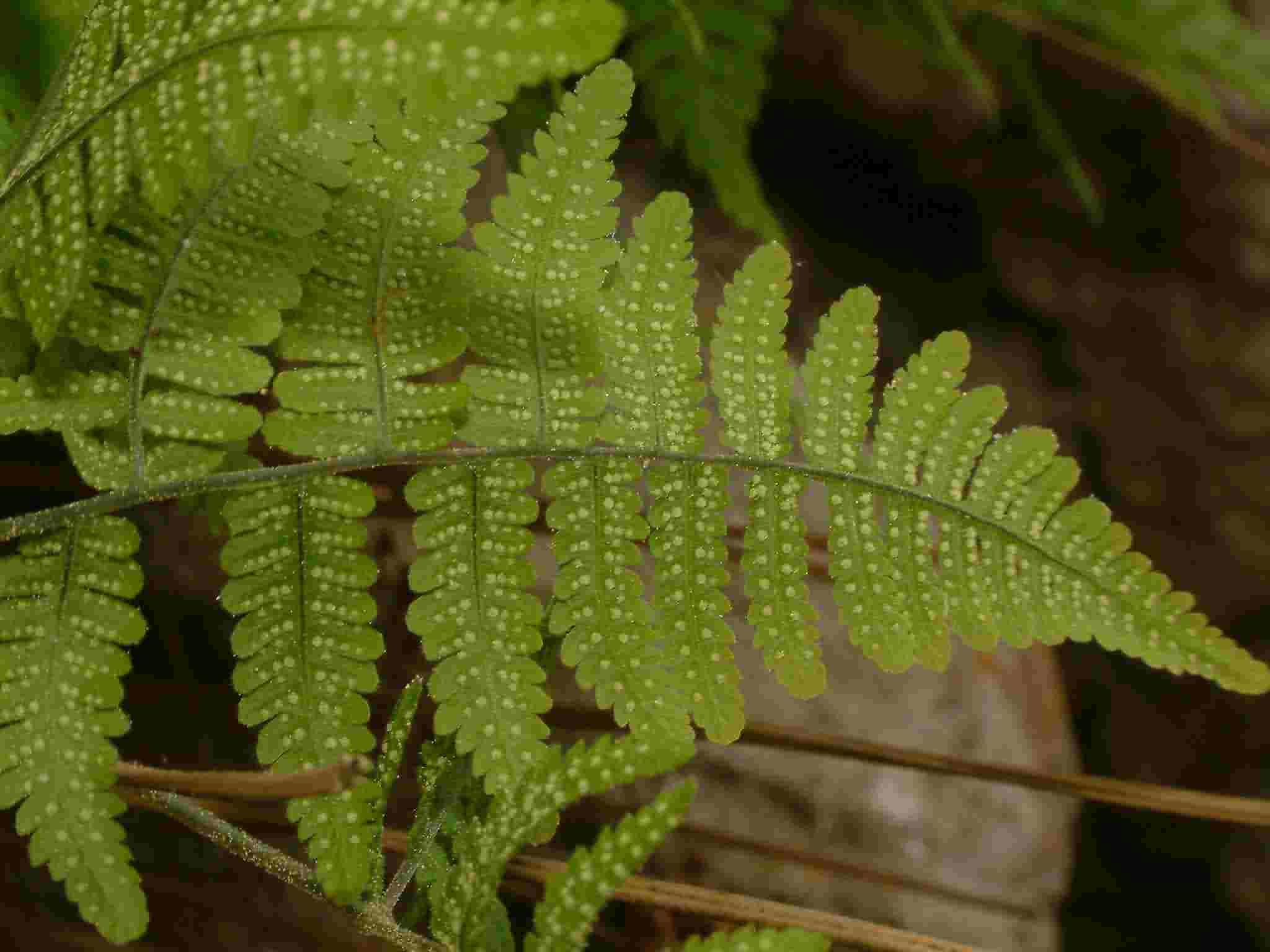 Gymnocarpium robertianum 2