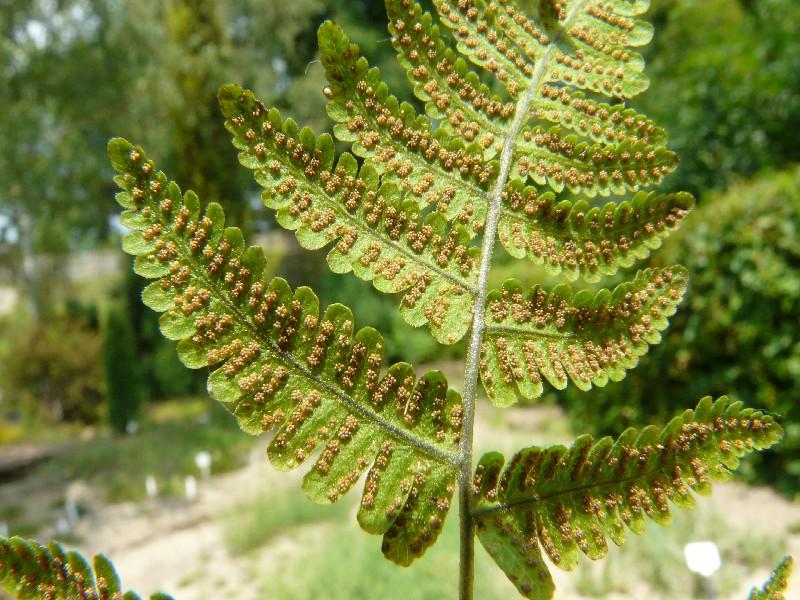 Gymnocarpium robertianum 3