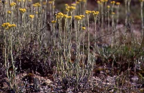 Helichrysum arenarium 1