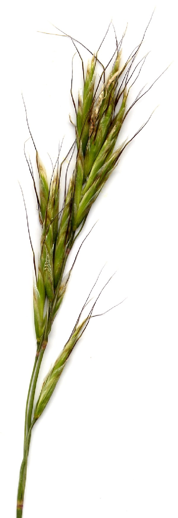 Helictotrichon pratense 3