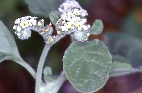 Heliotropium europaeum 2