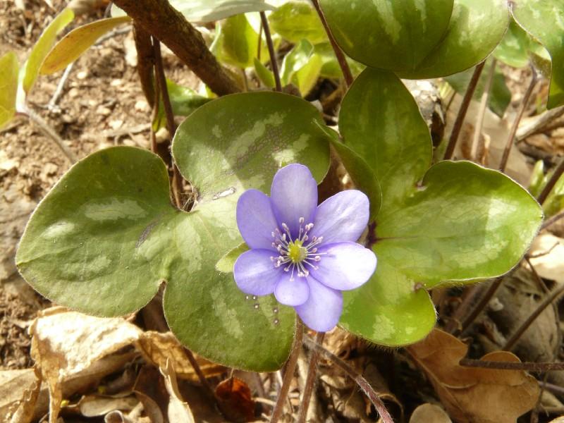 Hepatica nobilis 1