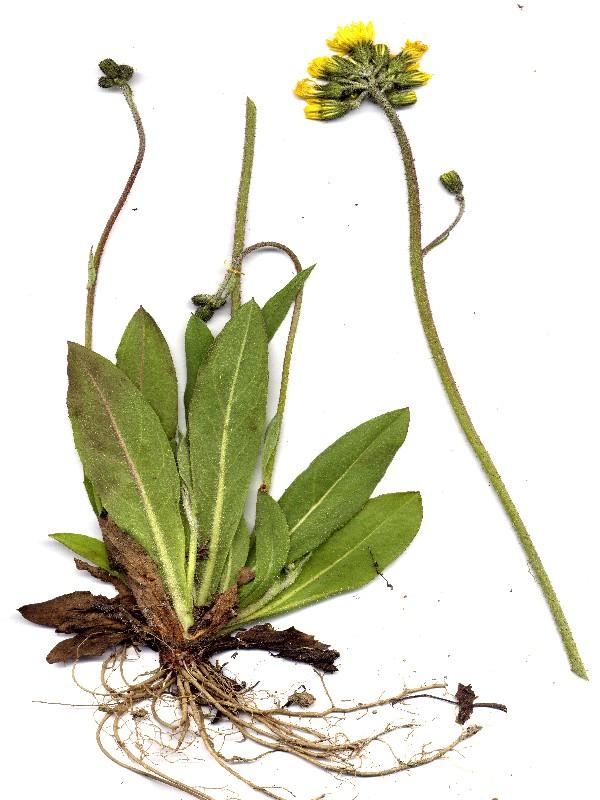 Hieracium glomeratum 1