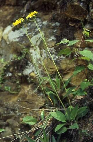 Hieracium murorum 1