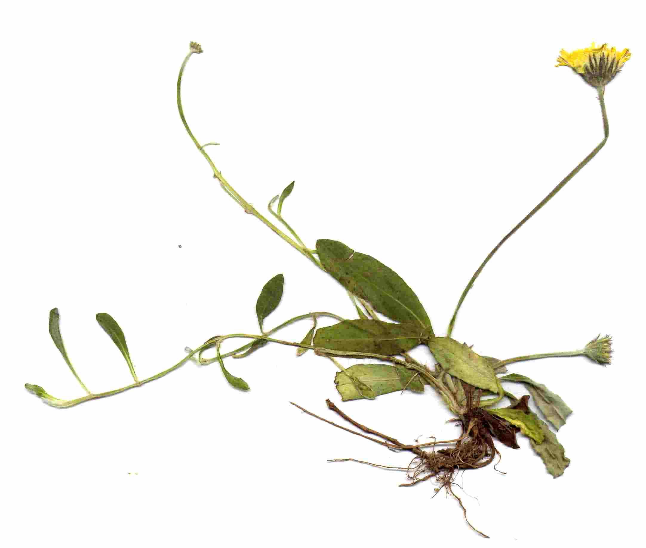 Hieracium pilosella 3