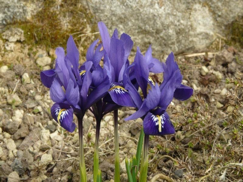 Iris reticulata 1