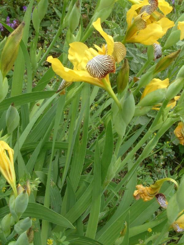 Iris variegata 1
