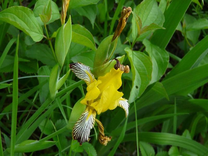 Iris variegata 2