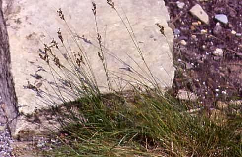 Juncus gerardii 1
