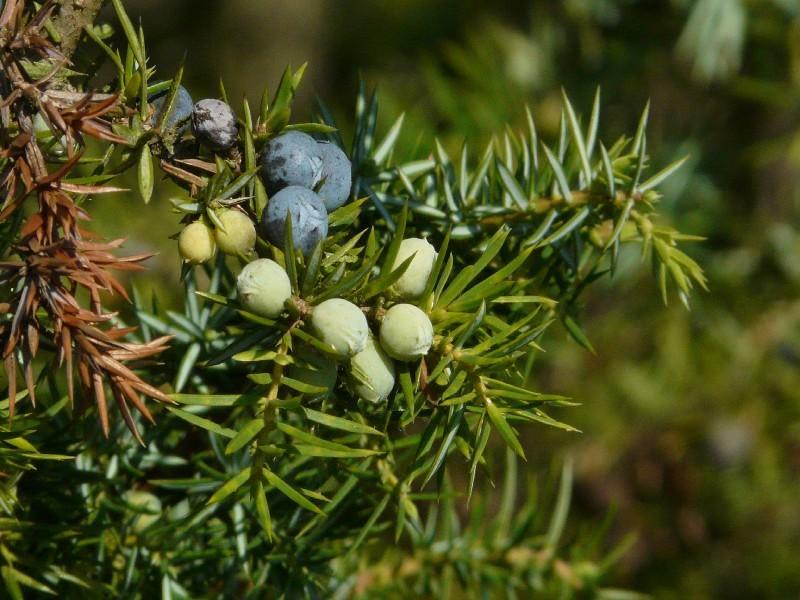 Juniperus communis 2