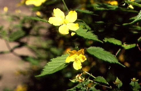 Kerria japonica 2