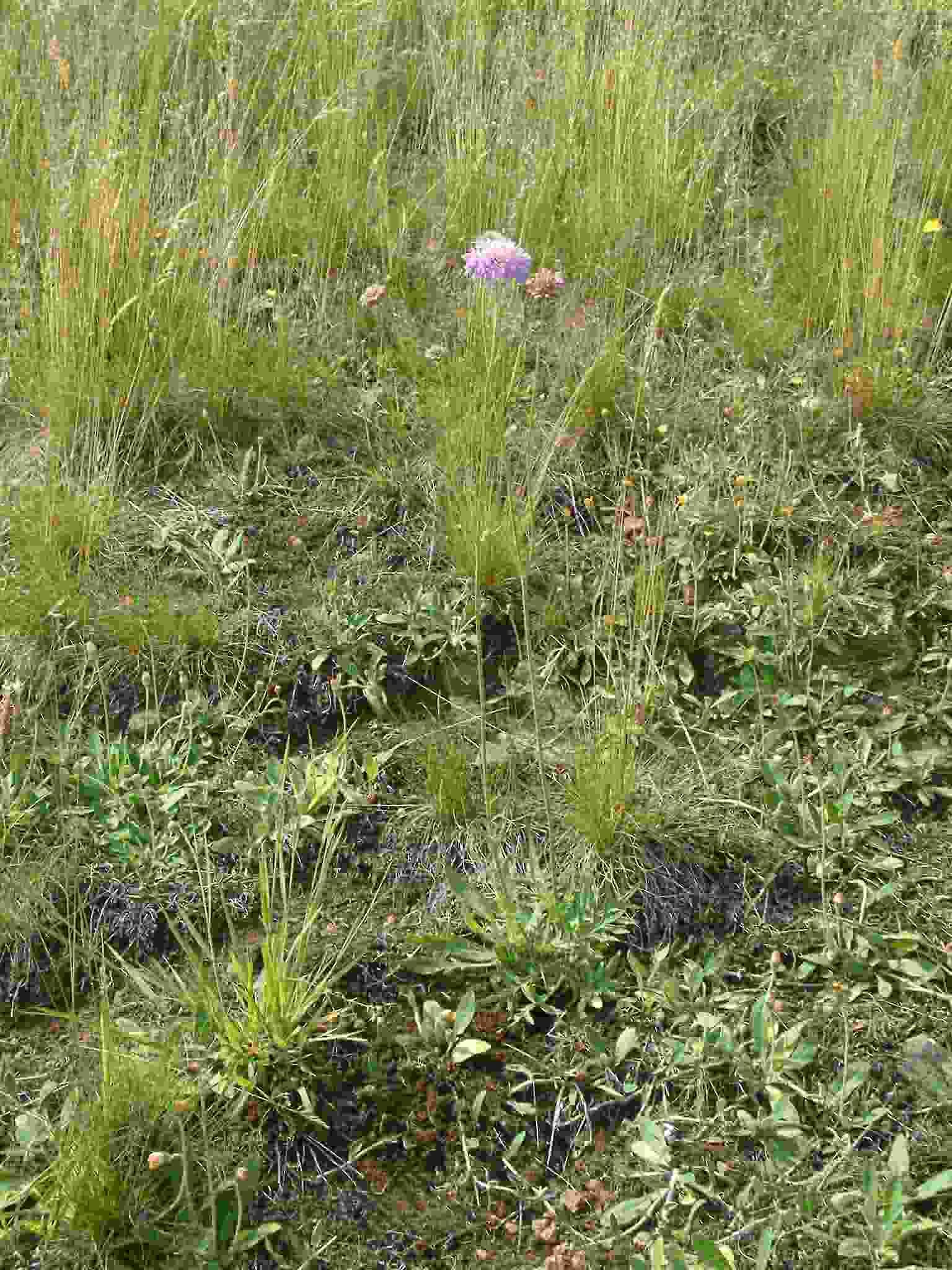 Knautia arvensis 1