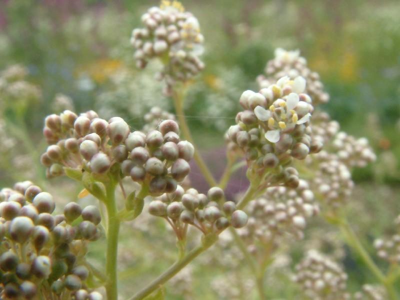 Lepidium latifolium 2