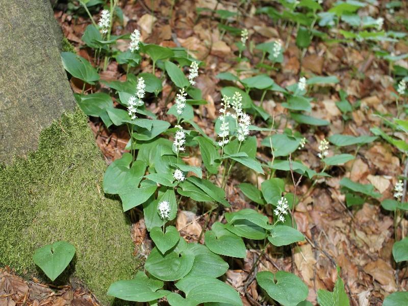 Maianthemum bifolium 1