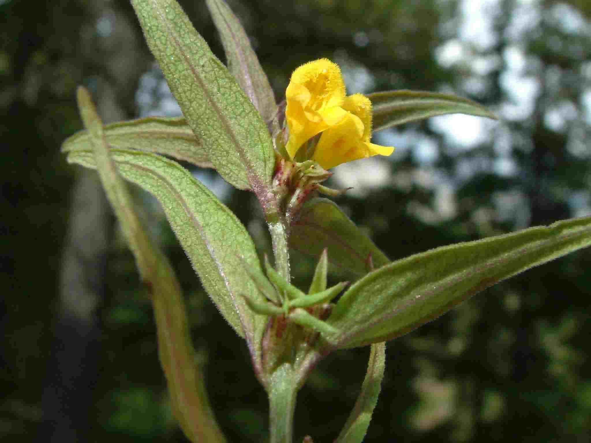 Melampyrum sylvaticum 2