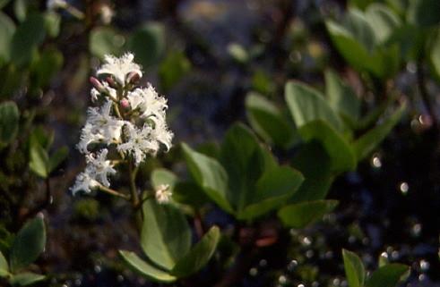 Menyanthes trifoliata 1