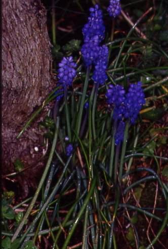 Muscari racemosum 1