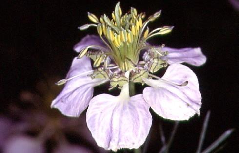 Nigella arvensis 2