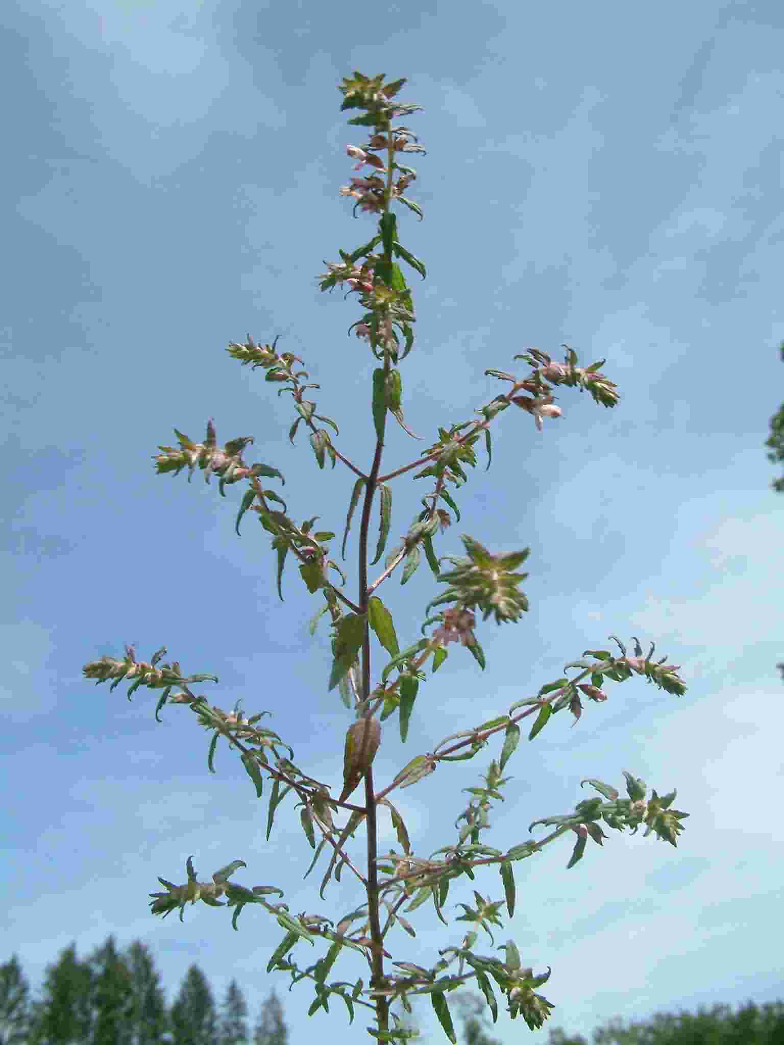 Odonites vulgaris 1