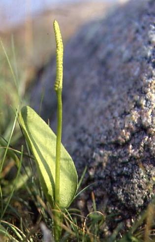 Ophioglossum vulgatum 1