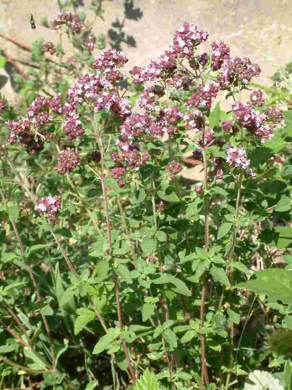 Origanum vulgare 1