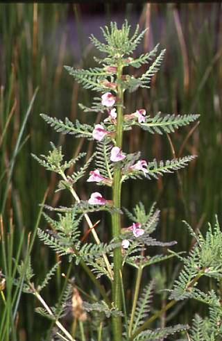 Pedicularis palustris 1