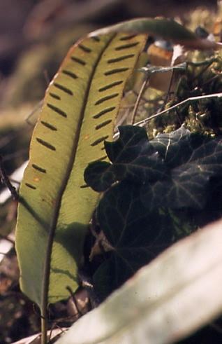 Phyllitis scolopendrium 2
