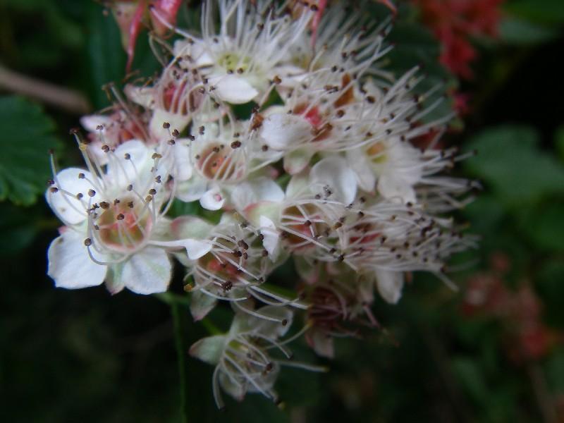 Physocarpus opulifolius 3