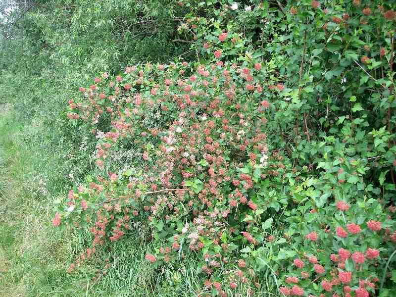 Physocarpus opulifolius 1