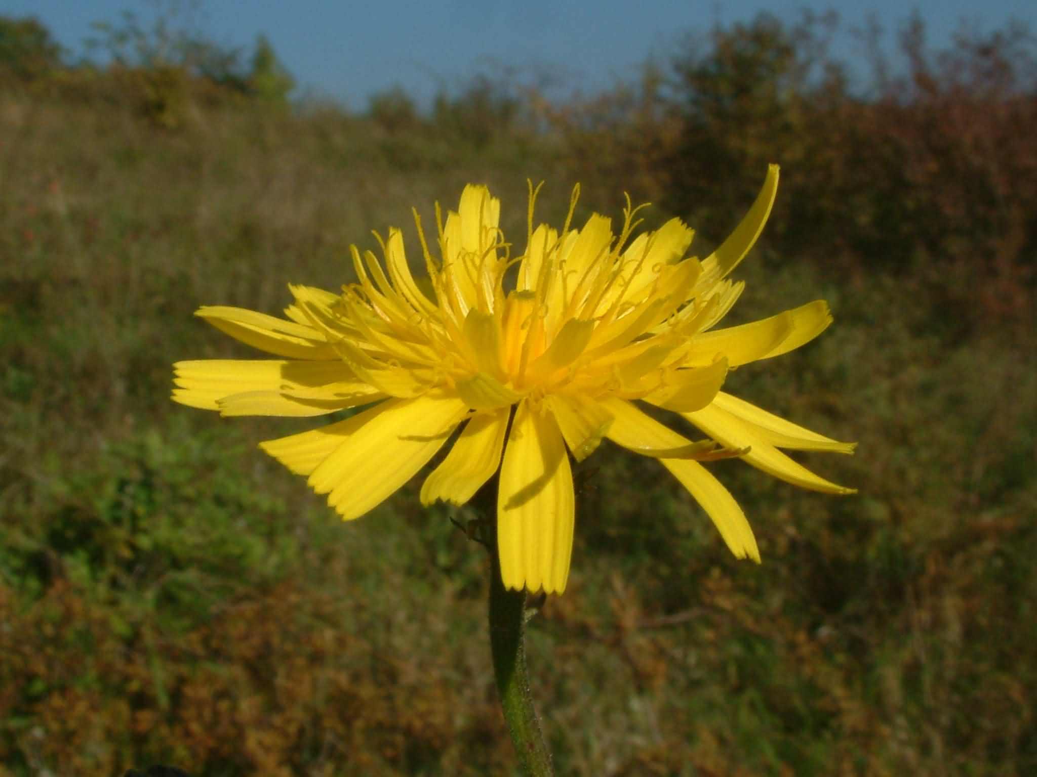 Picris hieracioides 2
